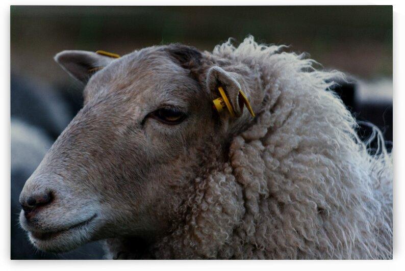 Close up of a sheep by Sven Dressler
