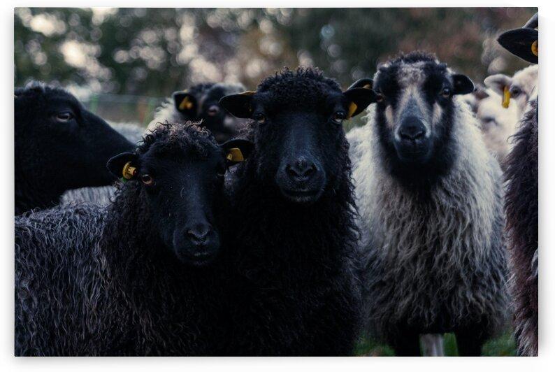 Two Black Sheep by Sven Dressler