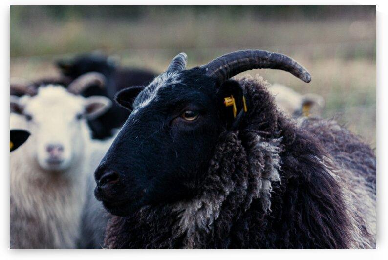 Two Sheep by Sven Dressler