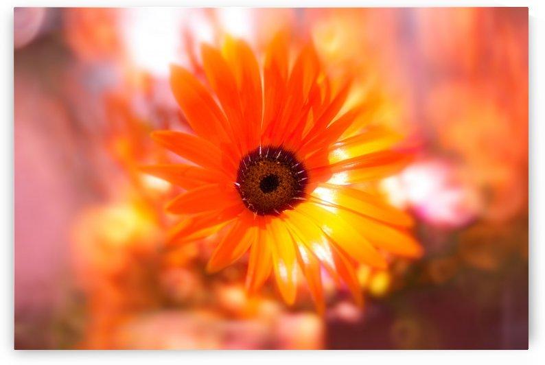 sun worshippers orangegold by Dagmar Marina