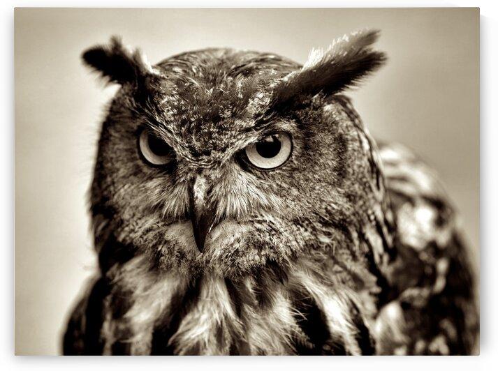 Owl III by mc2photography