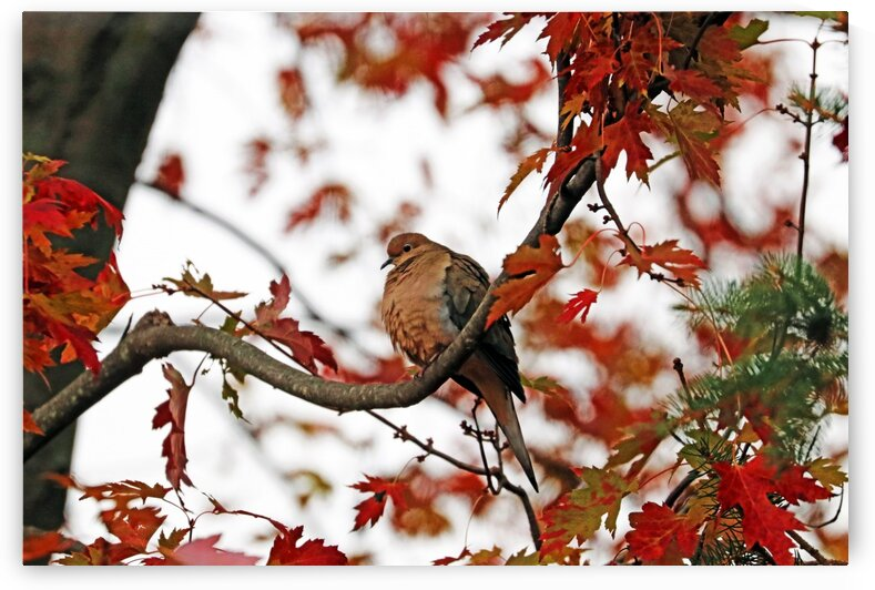 Autumn Mourning Dove by Deb Oppermann
