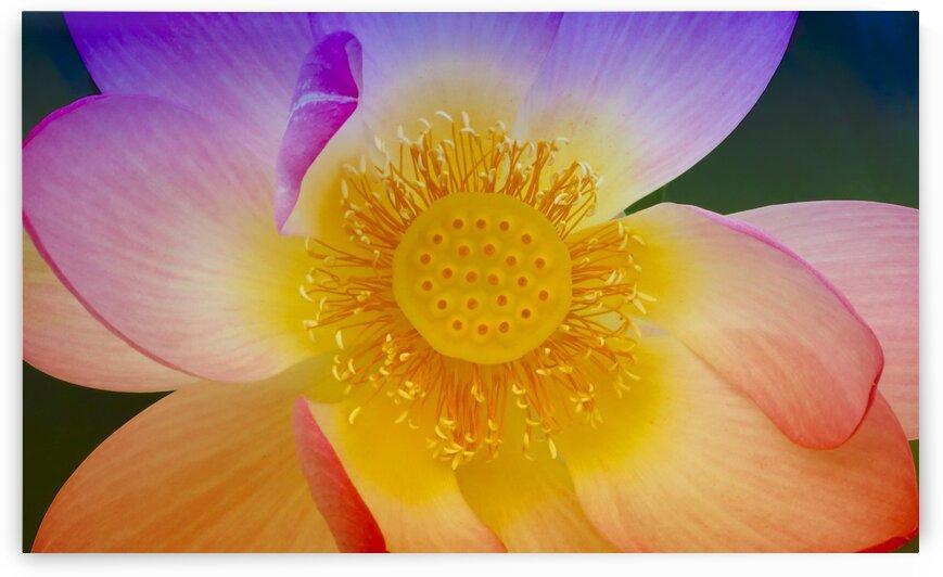 Lotus di Verbania by mc2photography