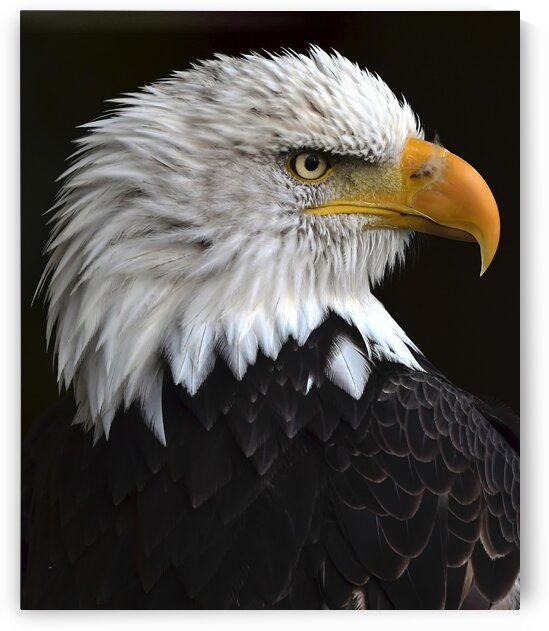 BaldEagleportrait by Chris Seager