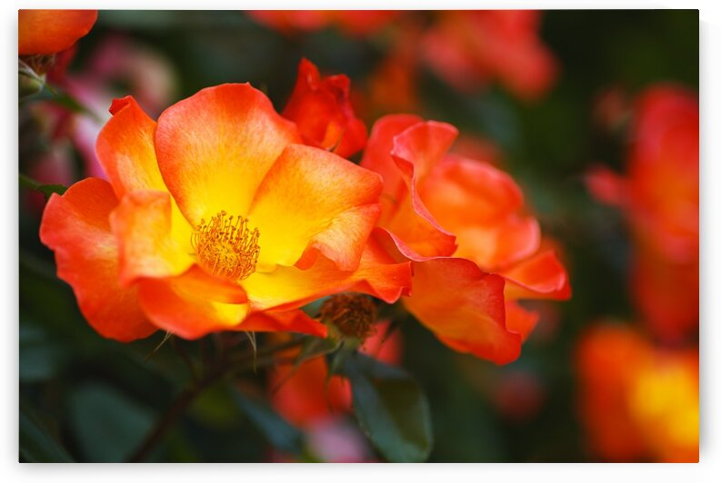 Glowing Orange Red Rose by Joy Watson