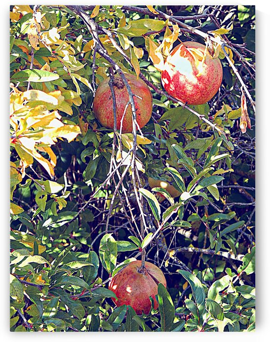 Pomegranate Fruits Ready to Pick by Dorothy Berry-Lound