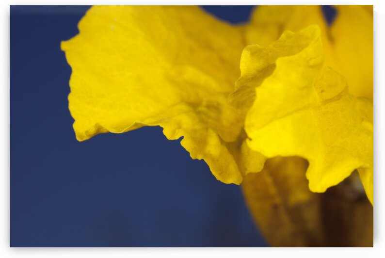 Yellow Ipe tree flower. by Mama Gipsy