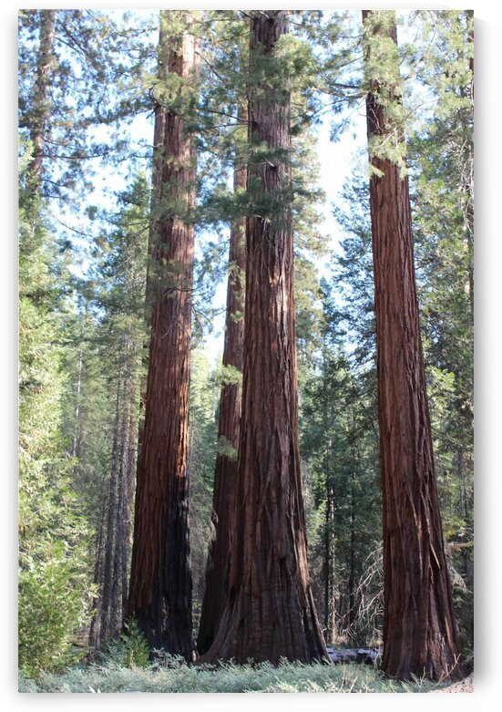 Giant Sequoias by Jenni OBrien