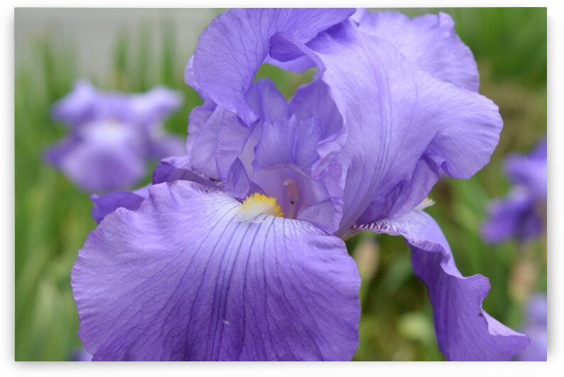 Purple Iris Photograph by Katherine Lindsey Photography