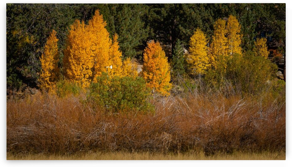 Hope Valley Aspens with Shrubs by Nicholas