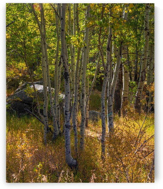 Hope Valley Aspen Trunks by Nicholas