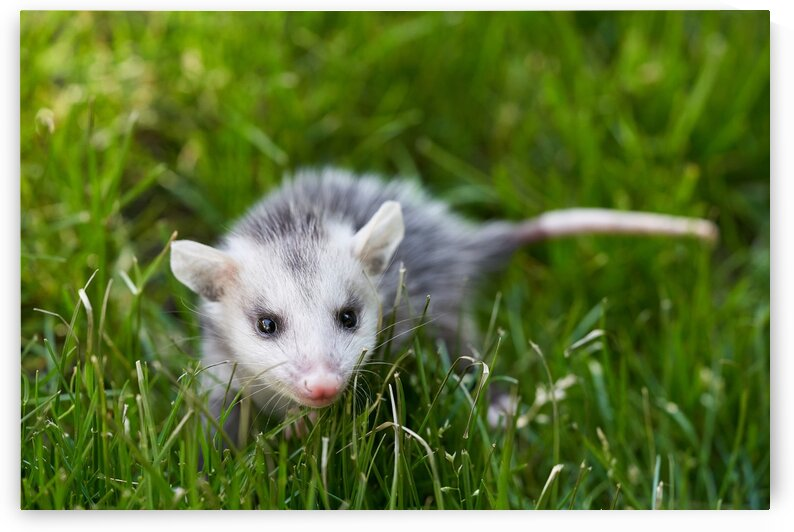 Baby Opossum by Nicole Buzzing Photography