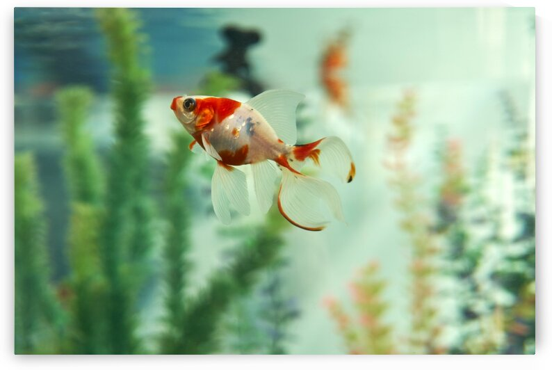 Goldfish Aquarium by Nicole Buzzing Photography