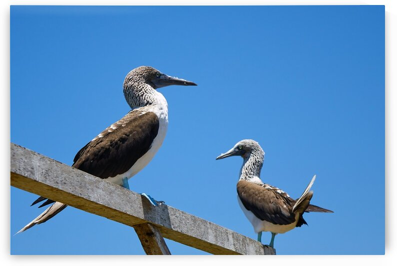 Blue-footed Booby Pair by Nicole Buzzing Photography