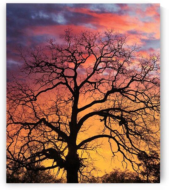 TreeSillouetteatSunset by Darryl Brooks