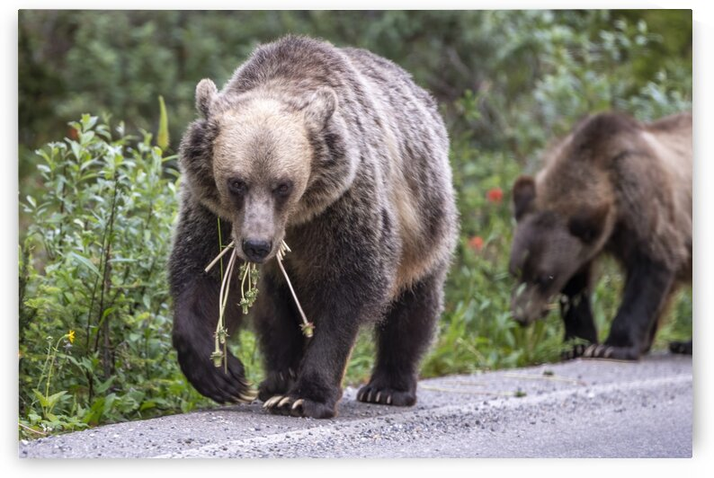 Grizzly Bear - Mouth Full by Ken Anderson Photography