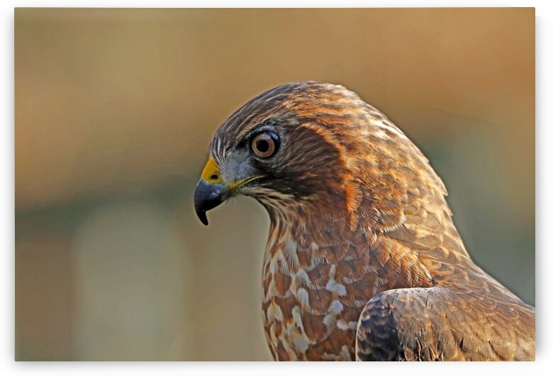 Broad Winged Hawk In Thought by Deb Oppermann