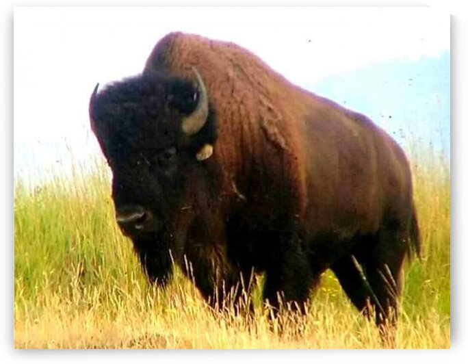 Buffalo  by Invigorating Perspectives by Ciara