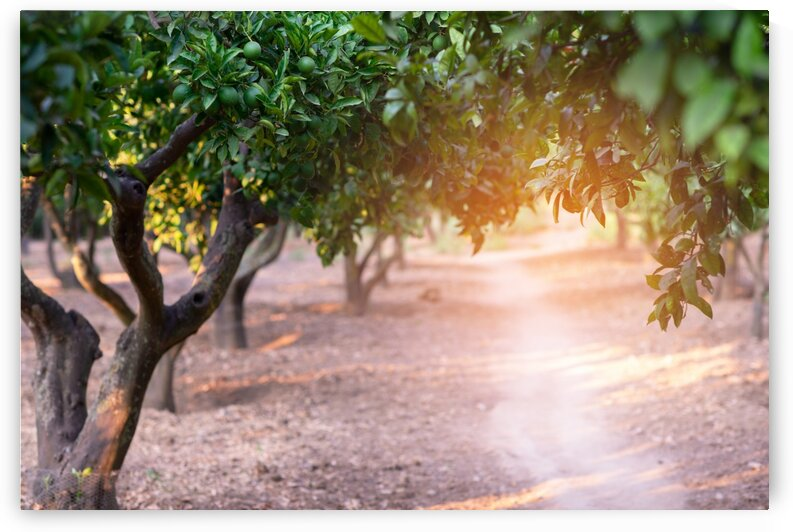Sunset in an orange grove in Sicily by Aquamarine