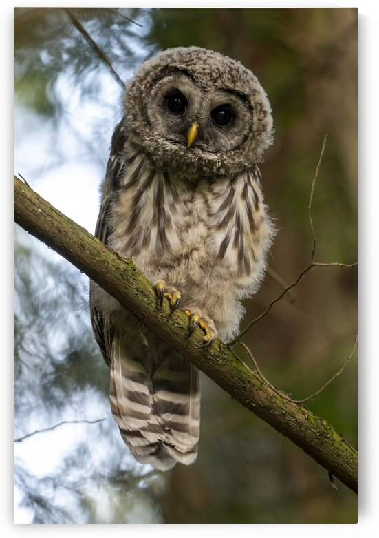 5319 - Juvenile Barred Owl by Ken Anderson Photography