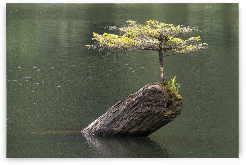 Fairy Lake Bonsai Tree  by Ken Anderson Photography