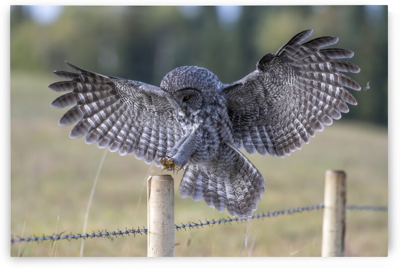 Great Grey Owl - Perfect Landing by Ken Anderson Photography