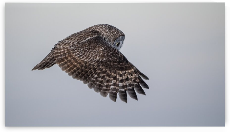 Great Grey Owl - Phantom of the North by Ken Anderson Photography