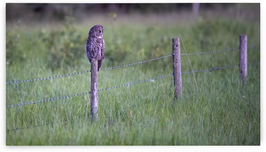 0077 - Great Grey Owl Fence Line Hunter by Ken Anderson Photography