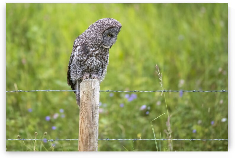 0663 - Great Grey Owl  I hear you by Ken Anderson Photography