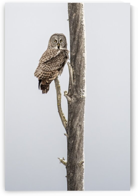 3845 - Great Grey Owl  by Ken Anderson Photography