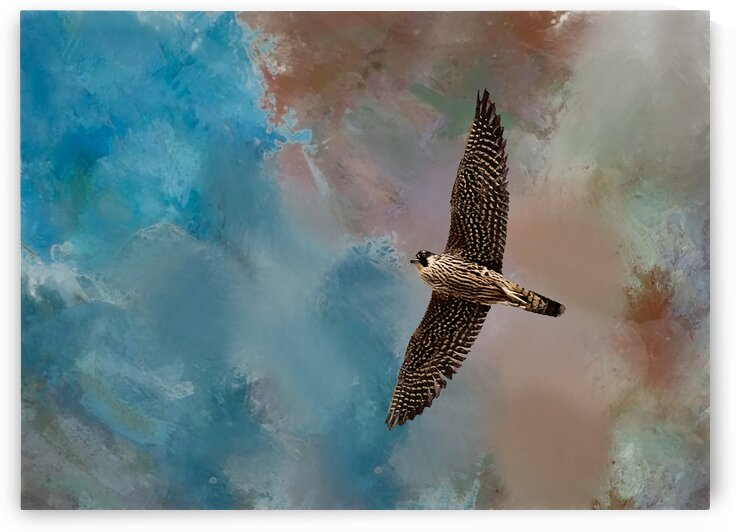 Peregrine Falcon Soars by Morecraft Photography