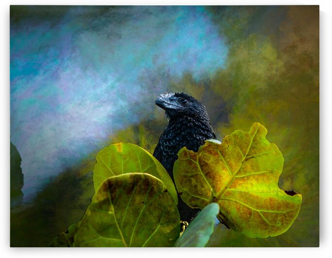 Smooth-billed Ani in Sea Grapes by Morecraft Photography