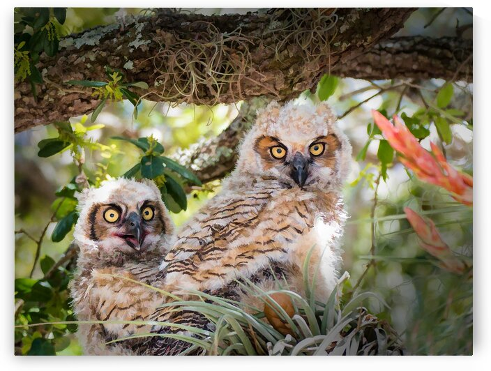 Great Horned Owl Chicks by Morecraft Photography