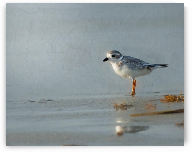 Piping Plover Beachtime by Morecraft Photography