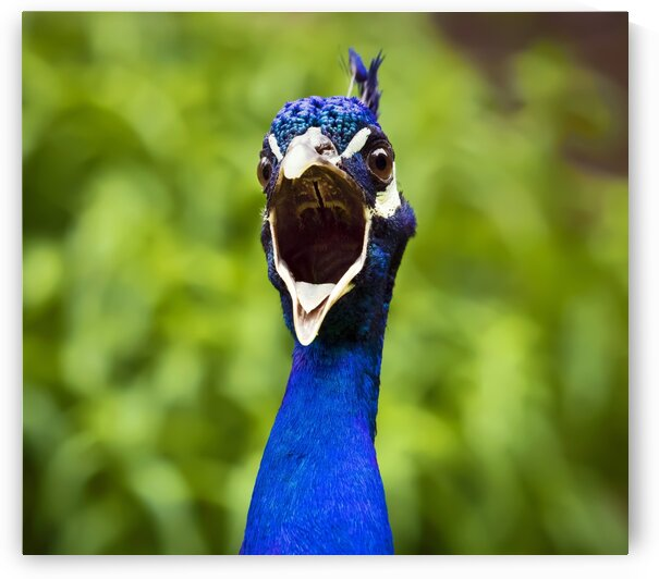 Angry Peacock by James M Gallagher