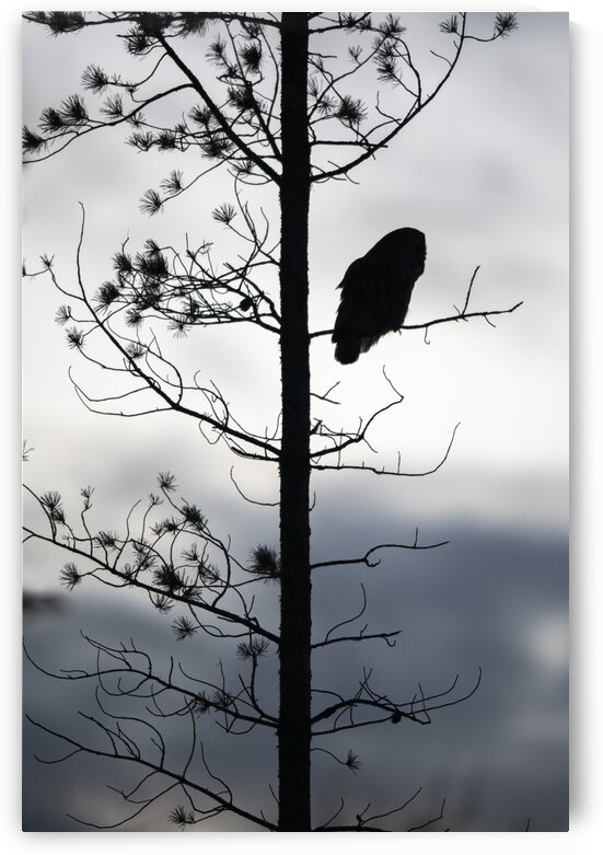 Great Grey Owl Silhouette by Ken Anderson Photography