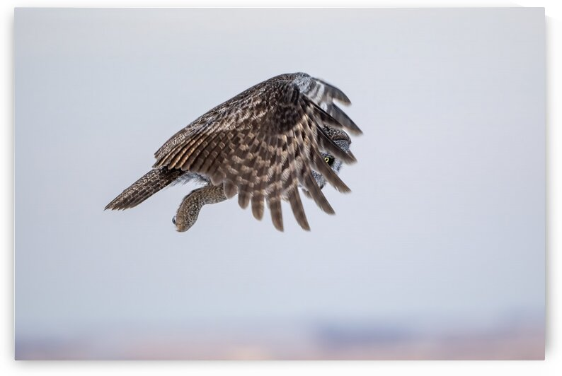 7830 - Great Grey Owl in flight by Ken Anderson Photography