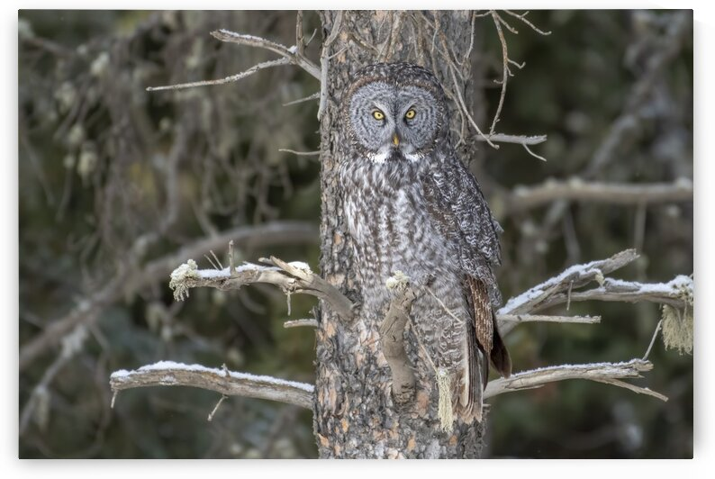 Great Grey Owl Camo by Ken Anderson Photography