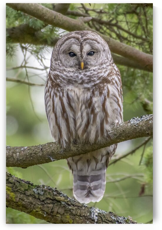 3420 - Barred Owl Portrait by Ken Anderson Photography