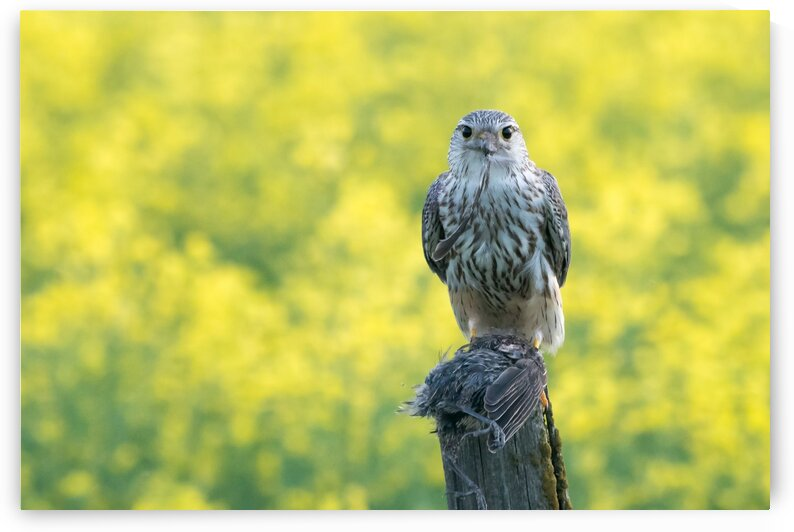 4004 - Merlin with Dinner by Ken Anderson Photography