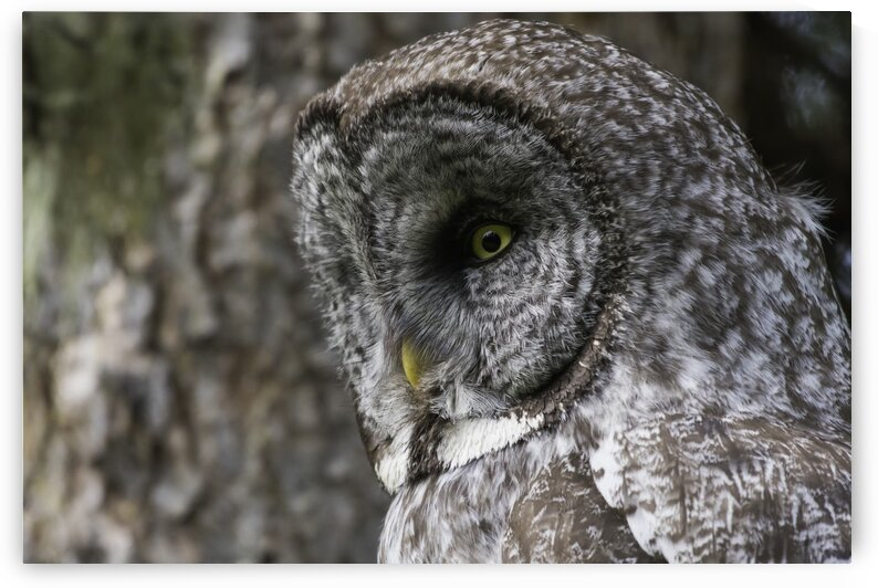 0947 - Great Grey Owl Up Close by Ken Anderson Photography
