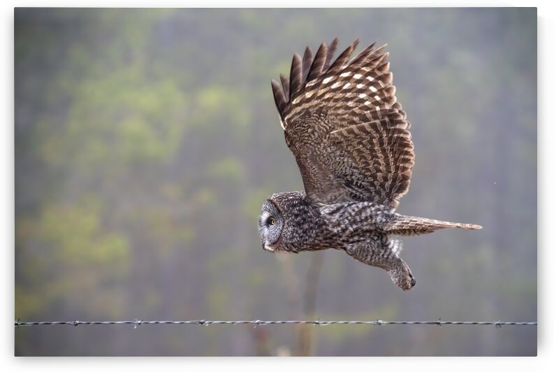 5594 - Great Grey Owl Fly by by Ken Anderson Photography