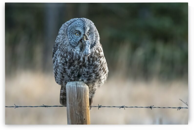 0244 - Great Grey Owl with prey by Ken Anderson Photography