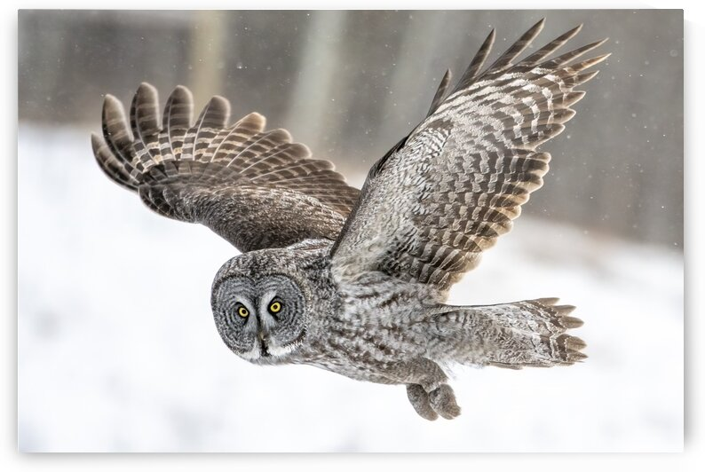 0871 - Eye Contact with a Great Grey Owl by Ken Anderson Photography