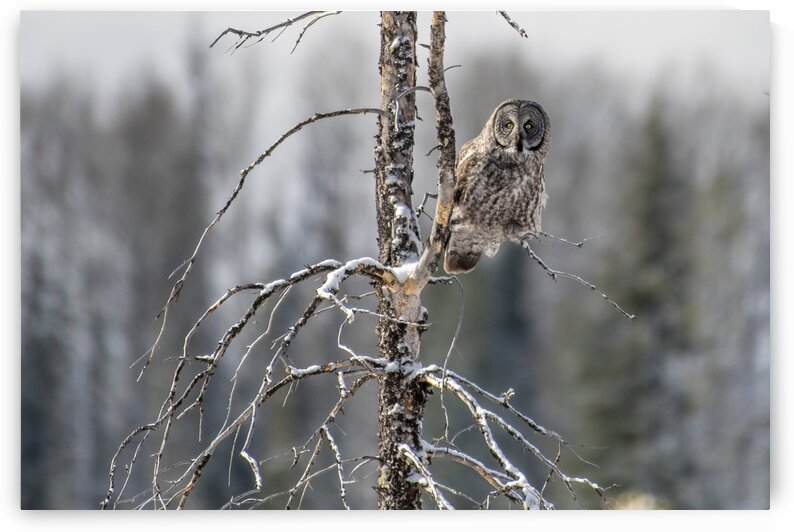 4608 - Great Grey Owl by Ken Anderson Photography