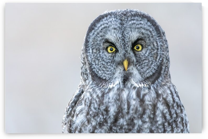 6487 - Great Grey Owl by Ken Anderson Photography