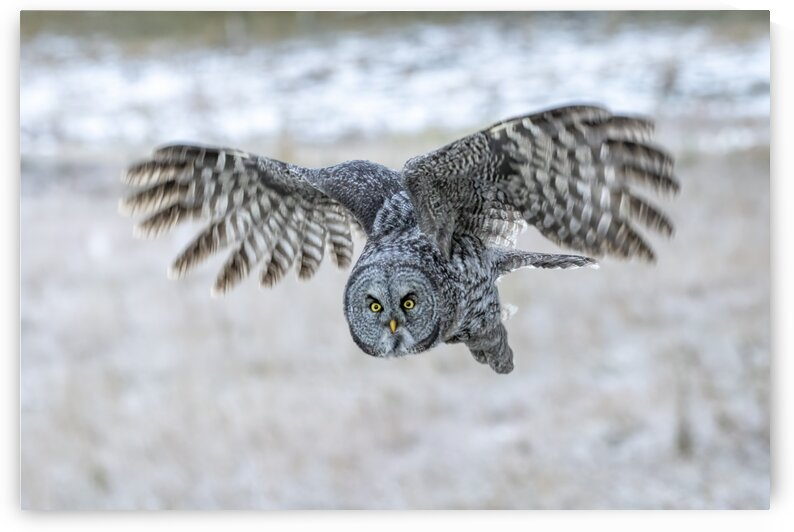 6513 - Great Grey Owl by Ken Anderson Photography