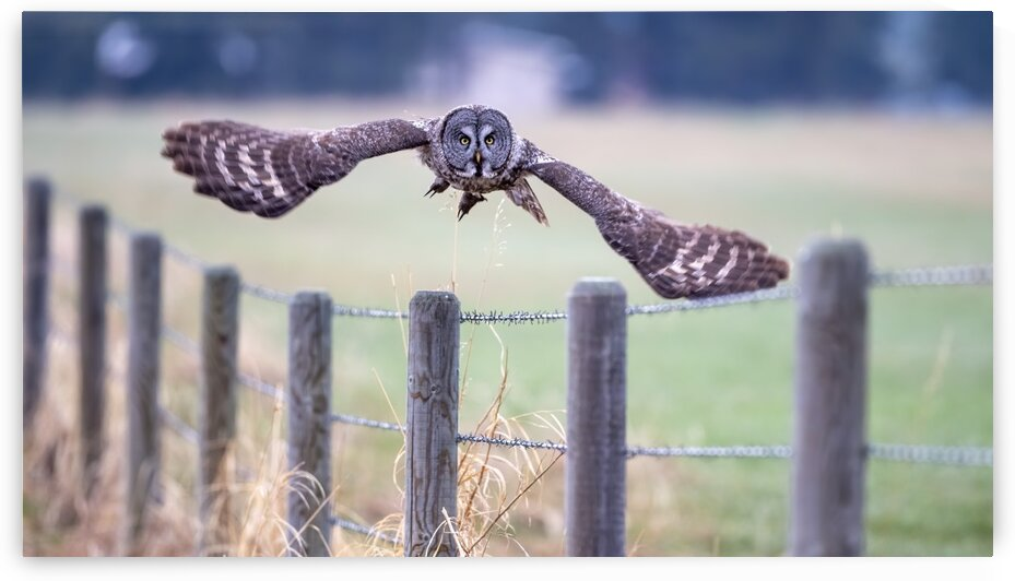 8461 - 5 Foot Wing Span Great Grey Owl by Ken Anderson Photography
