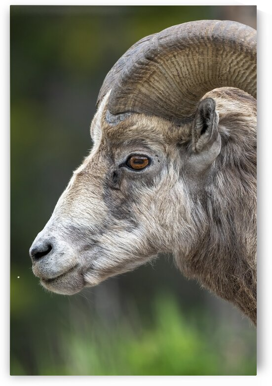 5512 - Big Horn Sheep by Ken Anderson Photography