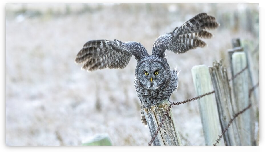 6507 - Departure Great Grey Owl by Ken Anderson Photography